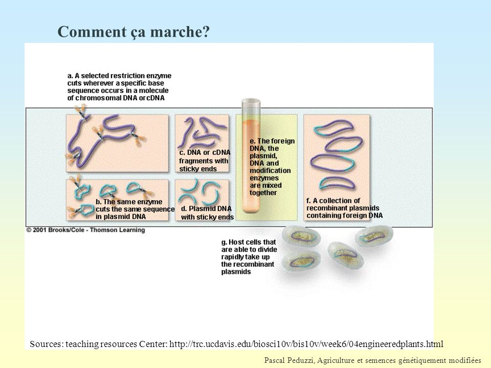 Pascal Peduzzi, Agriculture et semences génétiquement modifiées Comment ça marche? Sources: teaching resources Center: http://trc.ucdavis.edu/biosci10