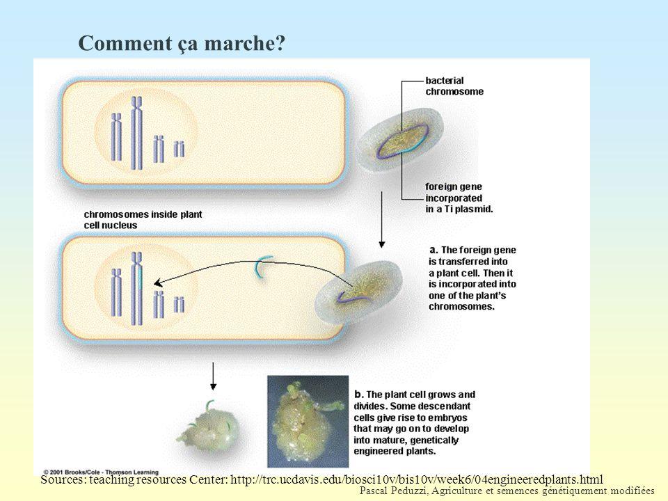 Pascal Peduzzi, Agriculture et semences génétiquement modifiées Sources: teaching resources Center: http://trc.ucdavis.edu/biosci10v/bis10v/week6/04engineeredplants.html Comment ça marche?