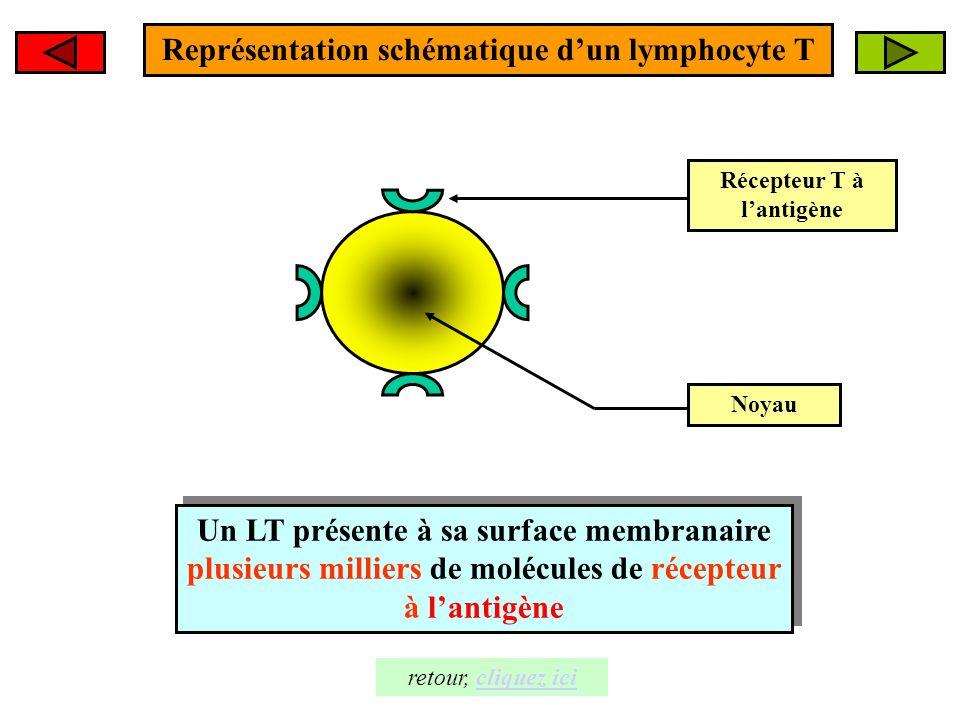 Représentation schématique d'un lymphocyte T Récepteur T à l'antigène Noyau Un LT présente à sa surface membranaire plusieurs milliers de molécules de