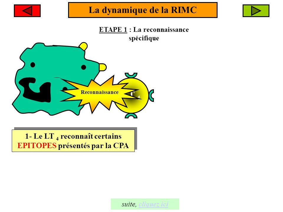 ETAPE 1 : La reconnaissance spécifique La dynamique de la RIMC 1- Le LT 4 reconnaît certains EPITOPES présentés par la CPA 1- Le LT 4 reconnaît certai