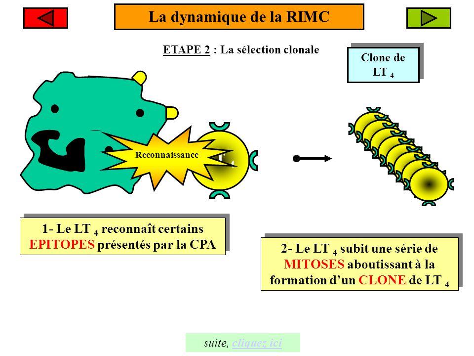 Le macrophage produit un messager chimique appelé l'INTERLEUKINE 1, qui stimule davantage la DIVISION MITOTIQUE des LT 4 Le macrophage produit un messager chimique appelé l'INTERLEUKINE 1, qui stimule davantage la DIVISION MITOTIQUE des LT 4 + + Il- 1 I l - 1 La dynamique de la RIMC ETAPE 3 L'expansion clonale suite, cliquez icicliquez ici Clones de LT 4 LT 4