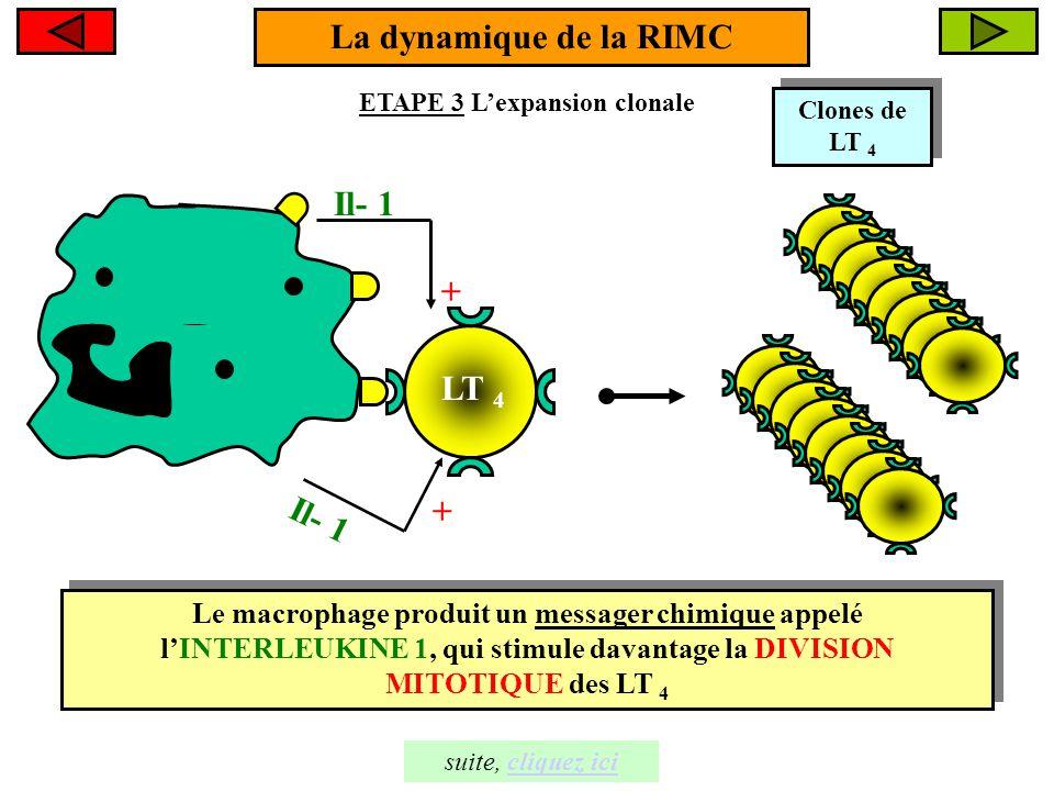 La dynamique de la RIMC ETAPE 4: La différenciation clonale Clone de LT 4 Clone de LT 4 1- Certains LT 4 du clone se différencient en LT 4 sécréteurs 1- Certains LT 4 du clone se différencient en LT 4 sécréteurs 2- D'autres, se différencient en LT 4 mémoires 2- D'autres, se différencient en LT 4 mémoires Rôle des LT sécréteurs, cliquez icicliquez ici
