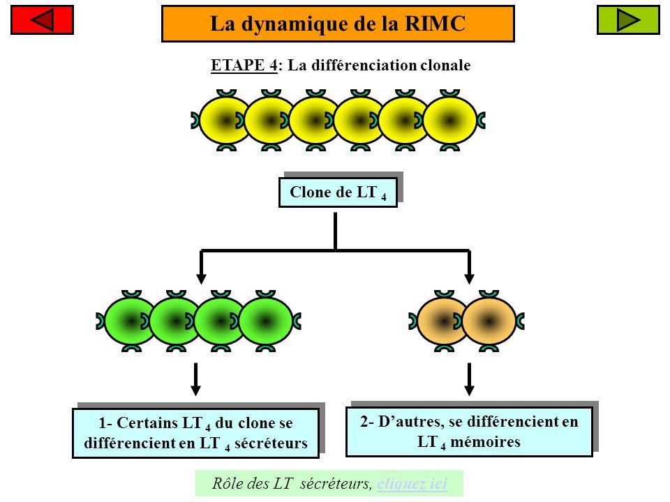 LT 8 La dynamique de la RIMC ETAPE 5: L'intervention des LT 8 LT 8 cytotoxique (LTC) 1- Le LT 4 sécréteur libère un messager chimique : l'interleukine 2 1- Le LT 4 sécréteur libère un messager chimique : l'interleukine 2 2- L'interleukine 2 stimule le LT 8 qui se différencie en LT 8 cytotoxique 2- L'interleukine 2 stimule le LT 8 qui se différencie en LT 8 cytotoxique + I l - 2 A- Les LT 8 représentent une autre population de lymphocytes T A- Les LT 8 représentent une autre population de lymphocytes T suite, cliquez icicliquez ici Différenciation B- Les LTC sont les EFFECTEURS de la RIMC.