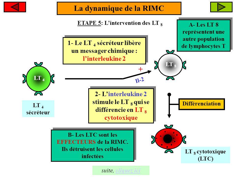 LT 8 La dynamique de la RIMC ETAPE 5: L'intervention des LT 8 LT 8 cytotoxique (LTC) 1- Le LT 4 sécréteur libère un messager chimique : l'interleukine