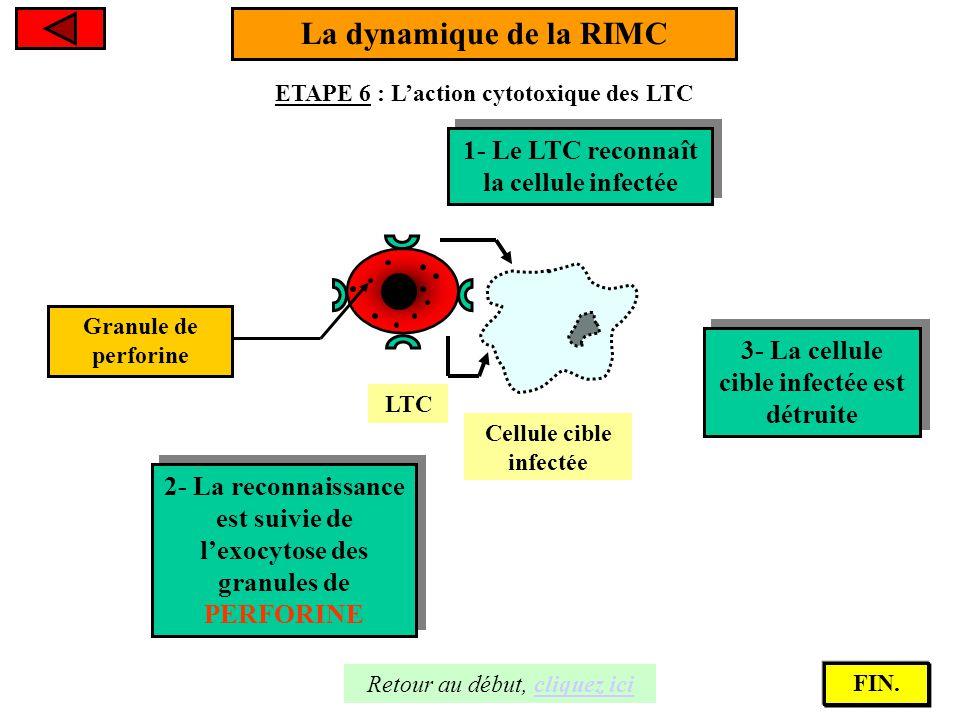 La dynamique de la RIMC ETAPE 6 : L'action cytotoxique des LTC Cellule cible infectée 1- Le LTC reconnaît la cellule infectée 1- Le LTC reconnaît la c