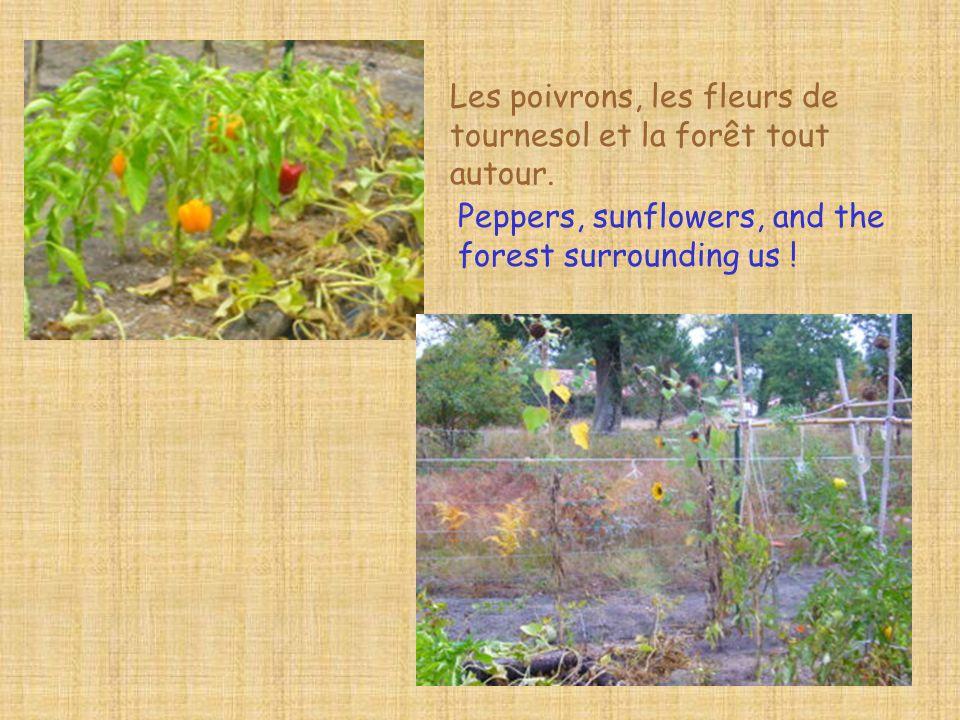Les poivrons, les fleurs de tournesol et la forêt tout autour.