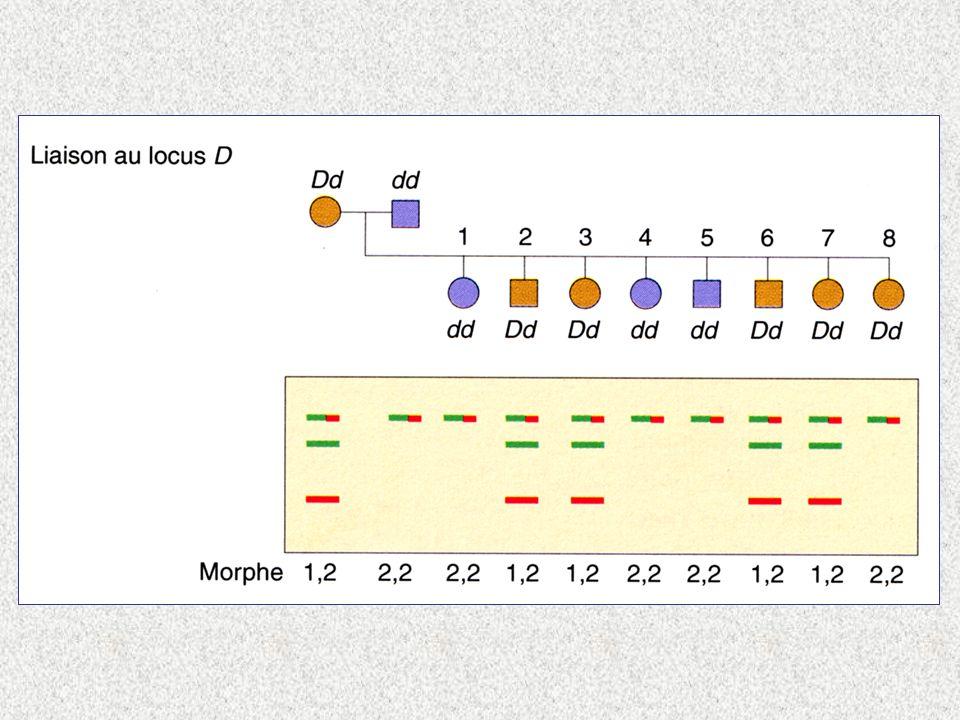 C D C Chromosomes balanceurs voir Dura 1. 2 erreur sur méiose