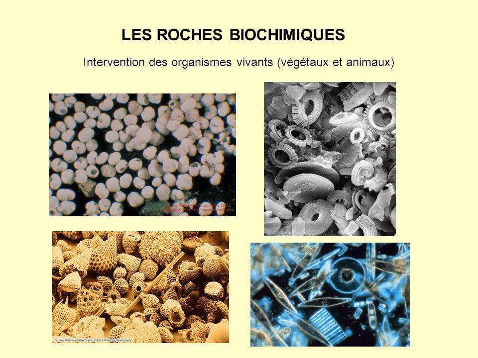 LES ROCHES BIOCHIMIQUES Intervention des organismes vivants (végétaux et animaux)