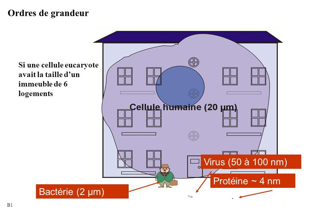 Bactérie (2 µm) Virus (50 à 100 nm) Protéine ~ 4 nm Si une cellule eucaryote avait la taille d'un immeuble de 6 logements Ordres de grandeur B1