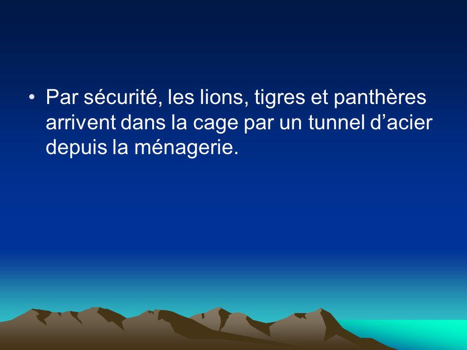 Par sécurité, les lions, tigres et panthères arrivent dans la cage par un tunnel d'acier depuis la ménagerie.
