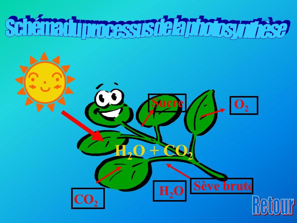 Sève brute H 2 O + CO 2 Sucre O 2 CO 2 H2OH2O