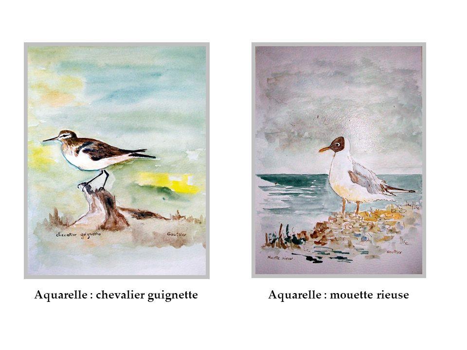 Aquarelle : chevalier guignetteAquarelle : mouette rieuse