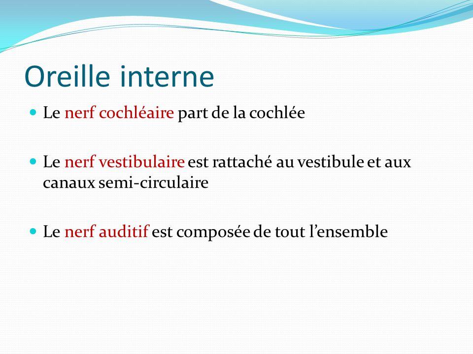 Oreille interne Le nerf cochléaire part de la cochlée Le nerf vestibulaire est rattaché au vestibule et aux canaux semi-circulaire Le nerf auditif est composée de tout l'ensemble