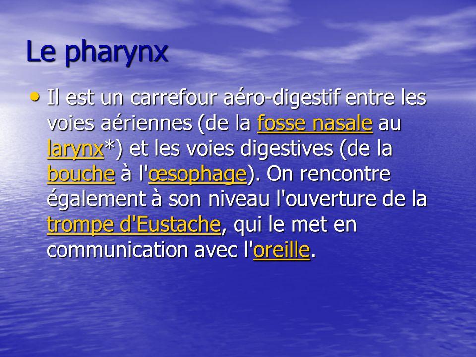 Le pharynx Il est un carrefour aéro-digestif entre les voies aériennes (de la fosse nasale au larynx*) et les voies digestives (de la bouche à l'œsoph