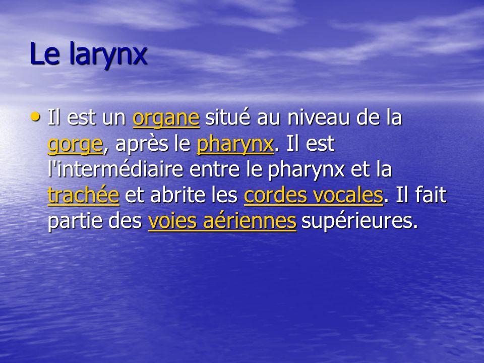 Le larynx Il est un organe situé au niveau de la gorge, après le pharynx. Il est l'intermédiaire entre le pharynx et la trachée et abrite les cordes v