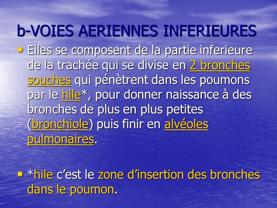 b-VOIES AERIENNES INFERIEURES Elles se composent de la partie inferieure de la trachée qui se divise en 2 bronches souches qui pénètrent dans les poum