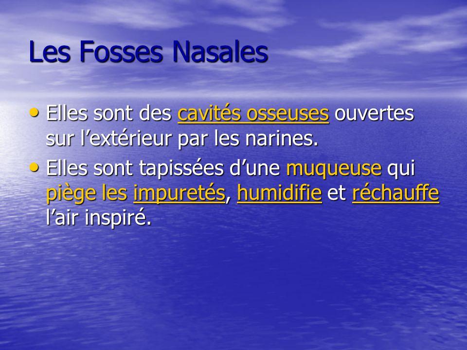 Les Fosses Nasales Elles sont des cavités osseuses ouvertes sur l'extérieur par les narines. Elles sont des cavités osseuses ouvertes sur l'extérieur