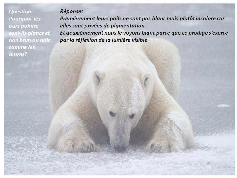 Question: Pourquoi les ours polaire sont-ils blancs et non brun ou noir comme les autres? Réponse: Premièrement leurs poils ne sont pas blanc mais plu