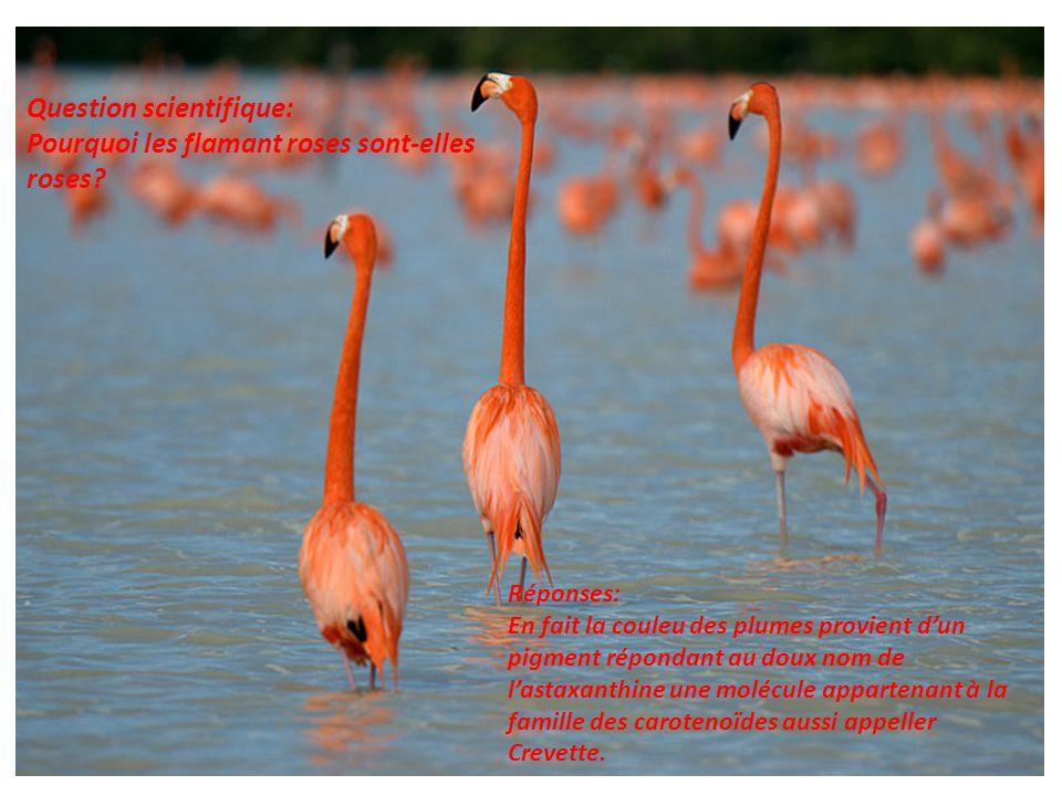Question scientifique: Pourquoi les flamant roses sont-elles roses? Réponses: En fait la couleu des plumes provient d'un pigment répondant au doux nom