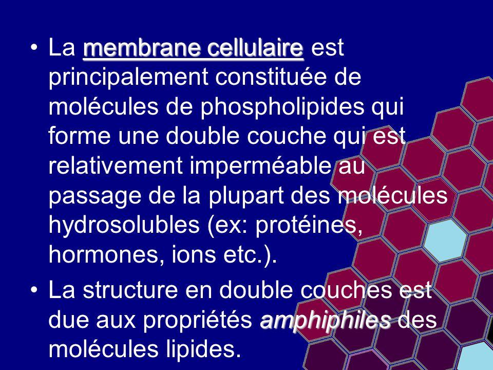 membrane cellulaireLa membrane cellulaire est principalement constituée de molécules de phospholipides qui forme une double couche qui est relativemen
