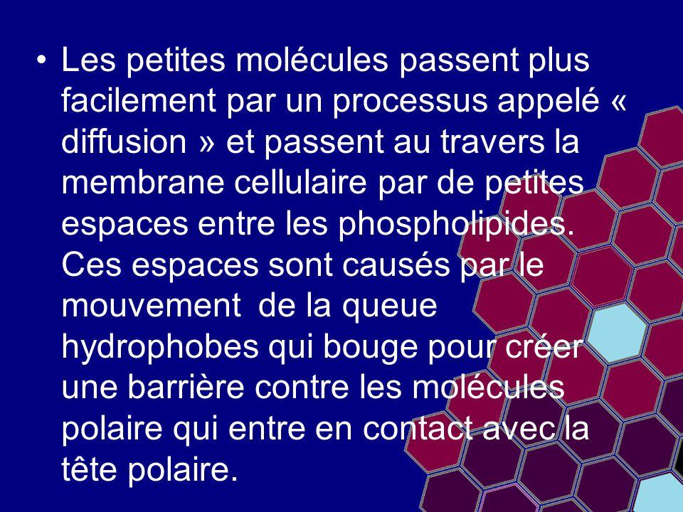Les petites molécules passent plus facilement par un processus appelé « diffusion » et passent au travers la membrane cellulaire par de petites espace