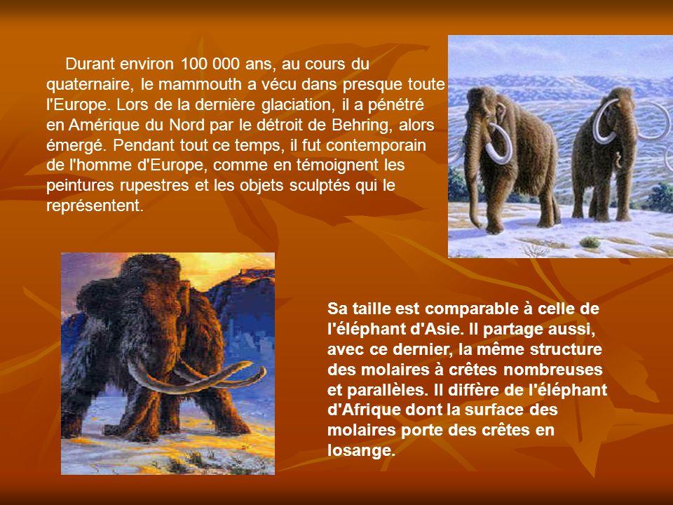 Les défenses recourbées du mammouth, qui sont de longues incisives, atteignaient jusqu à 4m de long.
