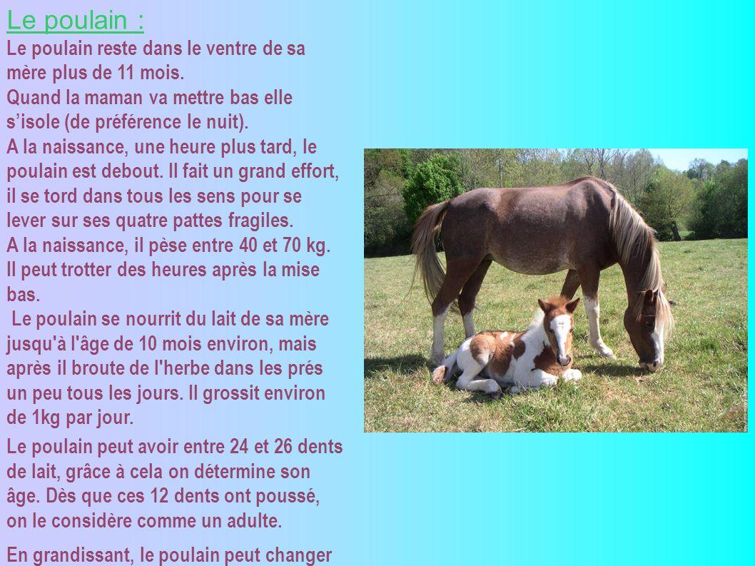 Les records : Le plus petit cheval du monde est Thumbelina elle a 5 ans pèse 26 kilos et mesure 45 cm au garrot.