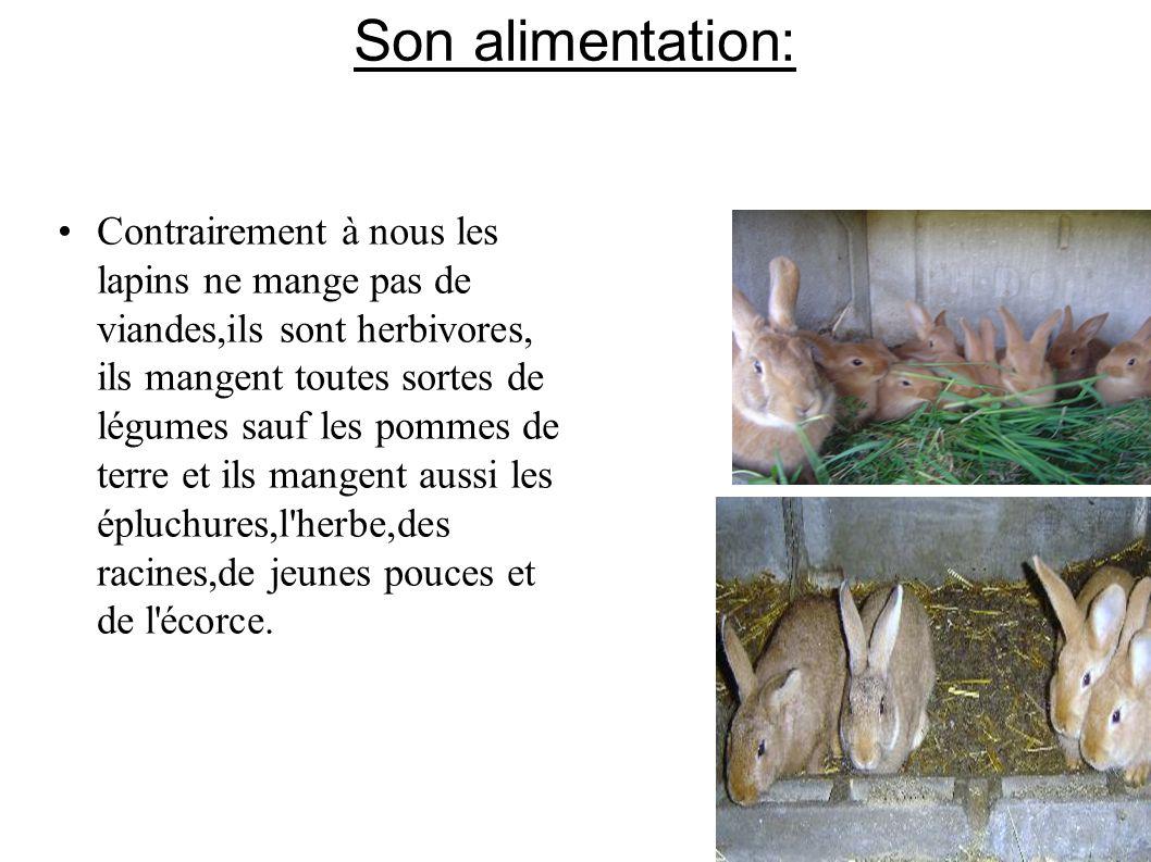 Son alimentation: Contrairement à nous les lapins ne mange pas de viandes,ils sont herbivores, ils mangent toutes sortes de légumes sauf les pommes de