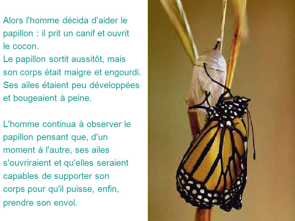 Alors l'homme décida d'aider le papillon : il prit un canif et ouvrit le cocon. Le papillon sortit aussitôt, mais son corps était maigre et engourdi.