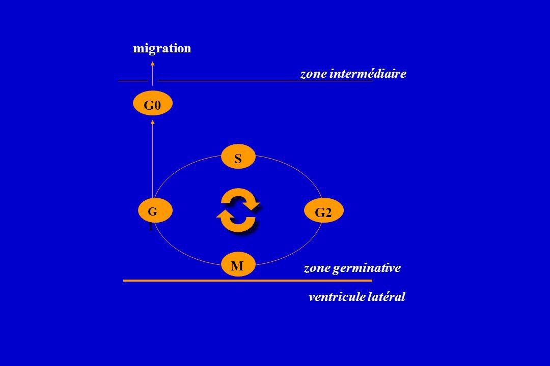 M G0 S G2 G1G1 migration ventricule latéral zone germinative zone intermédiaire