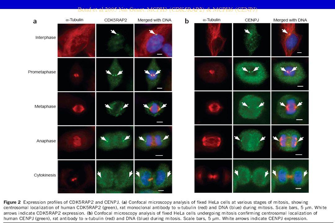 Bond et al 2005 Nat Genet. MCPH3 (CDK5RAP2) & MCPH6 (CENPJ)