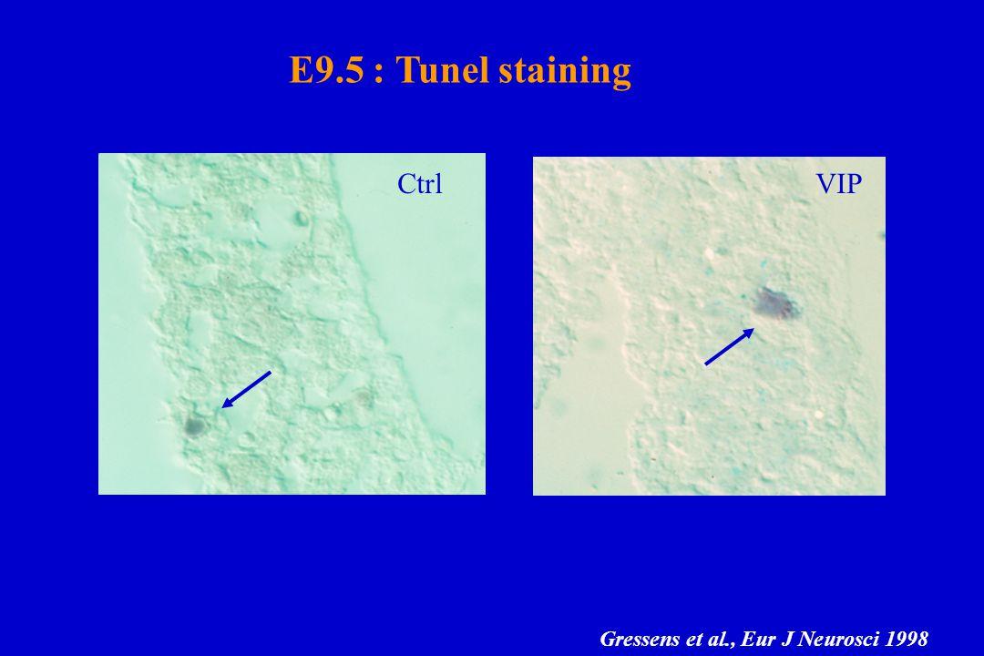 E9.5 : Tunel staining CtrlVIP Gressens et al., Eur J Neurosci 1998