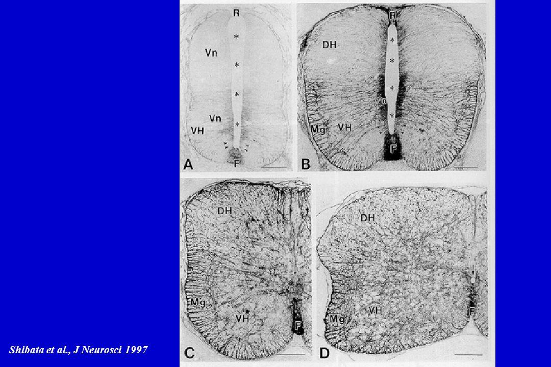 Shibata et al., J Neurosci 1997