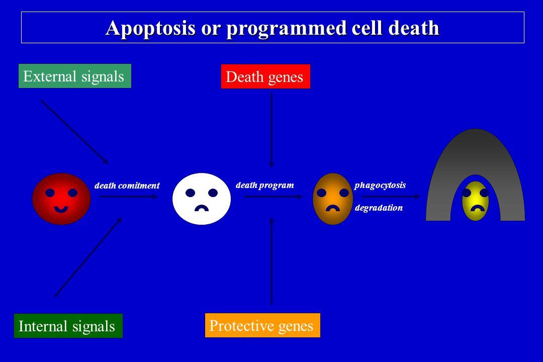 Apoptosis or programmed cell death Death genes Protective genes Internal signals External signals death comitment death programphagocytosis degradatio