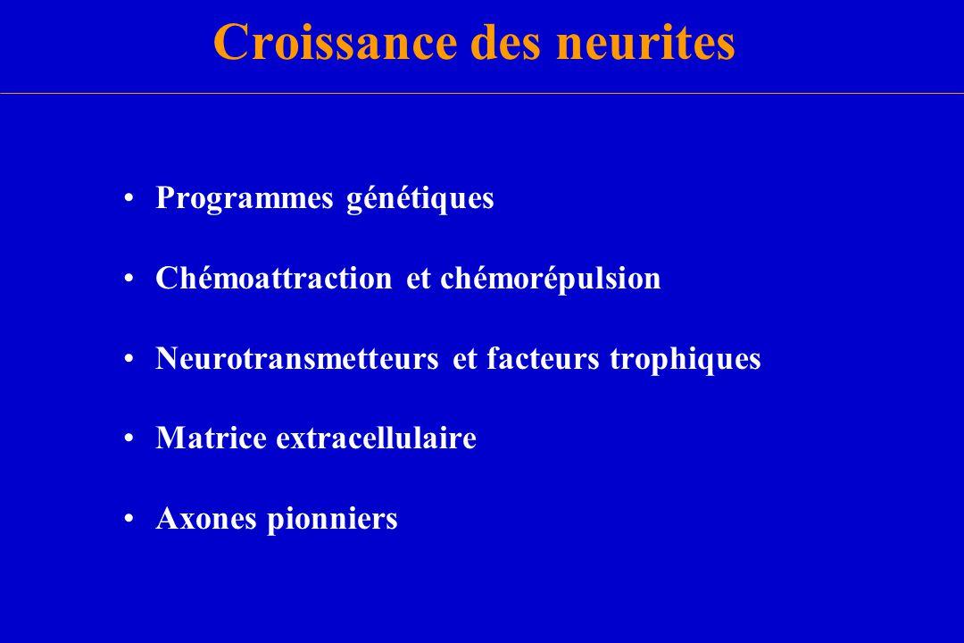 Croissance des neurites Programmes génétiques Chémoattraction et chémorépulsion Neurotransmetteurs et facteurs trophiques Matrice extracellulaire Axon