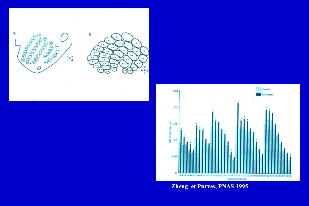 Zheng et Purves, PNAS 1995