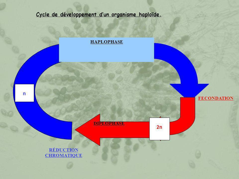 Cycle de développement d'un organisme haploïde. FECONDATION RÉDUCTION CHROMATIQUE n HAPLOPHASE 2n DIPLOPHASE