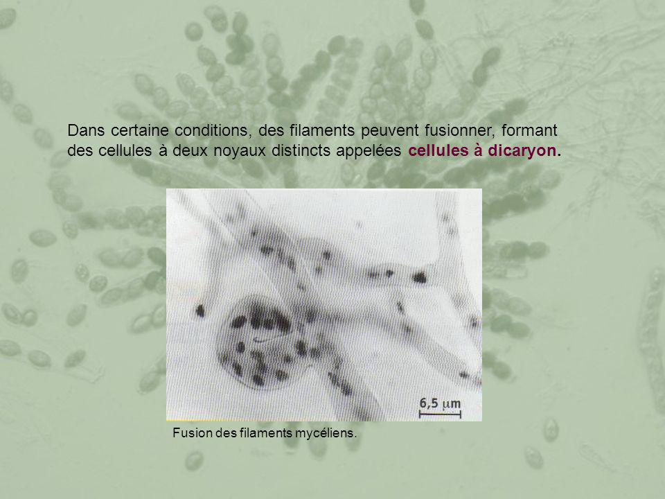 Dans certaine conditions, des filaments peuvent fusionner, formant des cellules à deux noyaux distincts appelées cellules à dicaryon. Fusion des filam