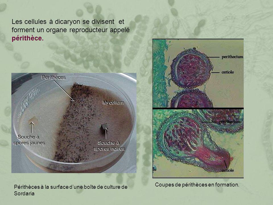 Les cellules à dicaryon se divisent et forment un organe reproducteur appelé périthèce. Périthèces à la surface d'une boîte de culture de Sordaria Cou