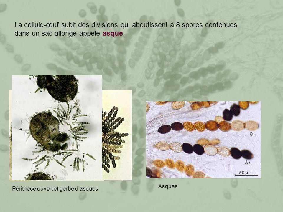 La cellule-œuf subit des divisions qui aboutissent à 8 spores contenues dans un sac allongé appelé asque. Périthèce ouvert et gerbe d'asques Asques