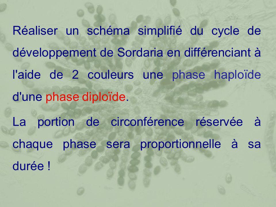 Réaliser un schéma simplifié du cycle de développement de Sordaria en différenciant à l'aide de 2 couleurs une phase haploïde d'une phase diploïde. La