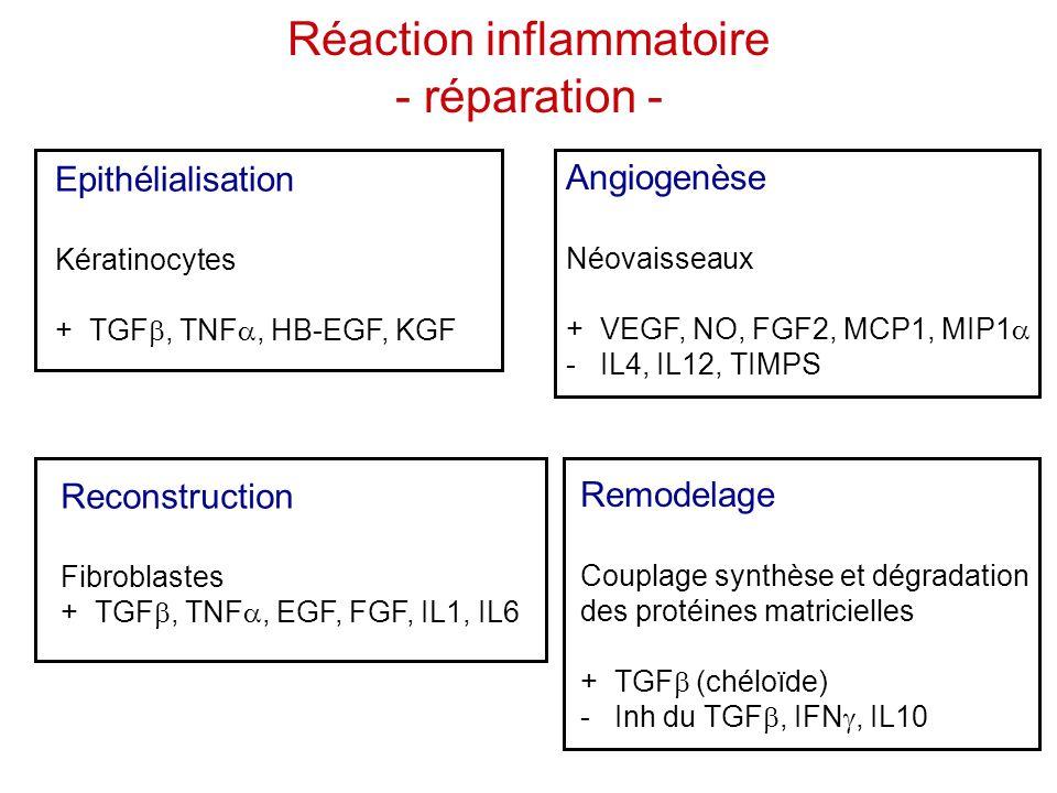 Réaction inflammatoire - réparation - Epithélialisation Kératinocytes + TGF , TNF , HB-EGF, KGF Remodelage Couplage synthèse et dégradation des prot