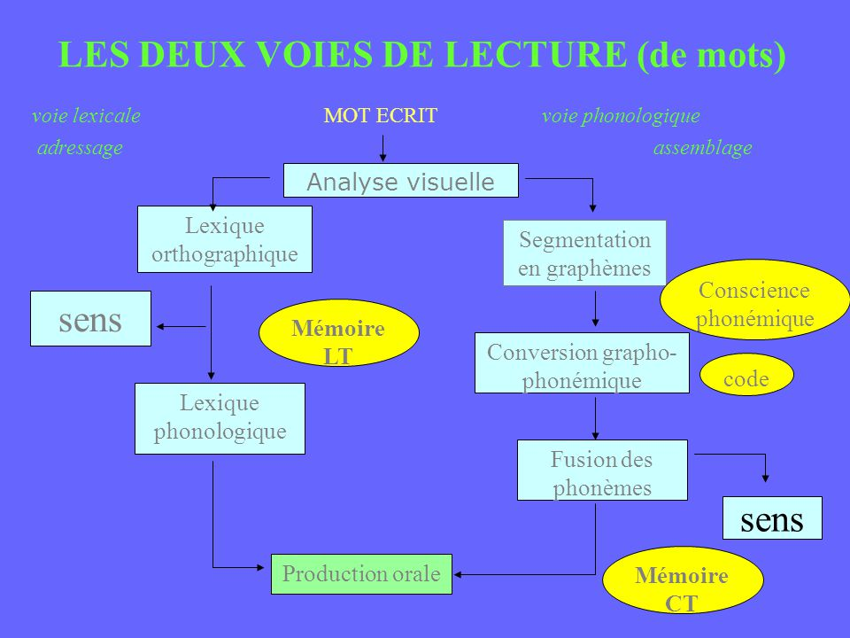 LES DEUX VOIES DE LECTURE (de mots) voie lexicale MOT ECRITvoie phonologique adressage assemblage Analyse visuelle Lexique orthographique sens Lexique phonologique Production orale Mémoire LT Segmentation en graphèmes Conversion grapho- phonémique Fusion des phonèmes Conscience phonémique code sens Mémoire CT