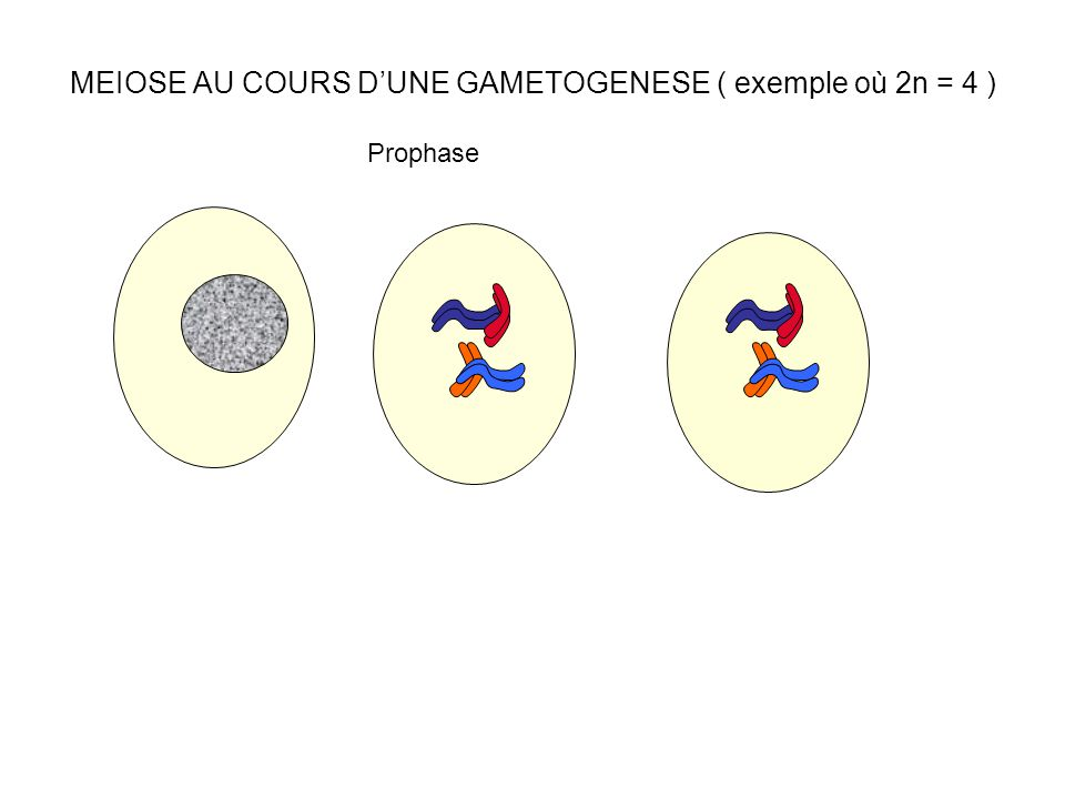MEIOSE AU COURS D'UNE GAMETOGENESE ( exemple où 2n = 4 ) Prophase