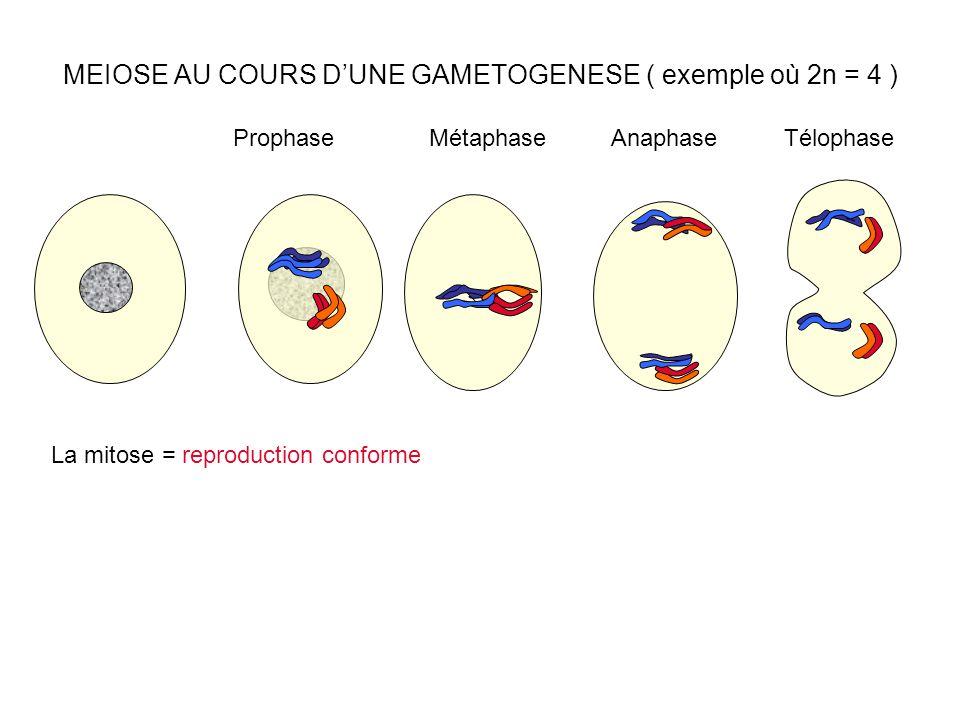 MEIOSE AU COURS D'UNE GAMETOGENESE ( exemple où 2n = 4 ) ProphaseMétaphaseAnaphaseTélophase La mitose = reproduction conforme