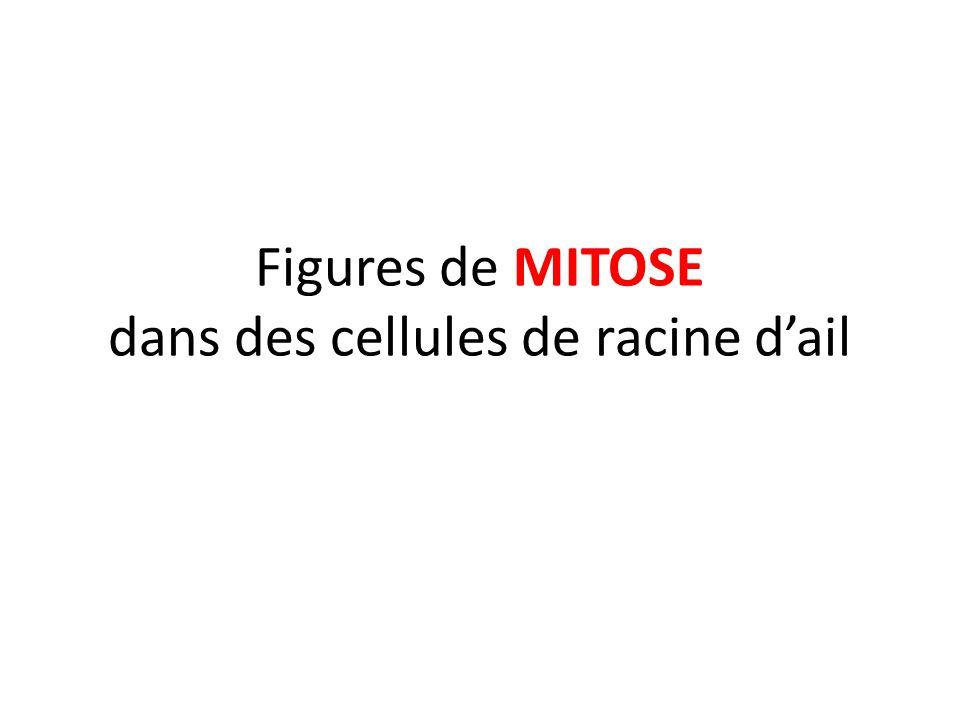 Figures de MITOSE dans des cellules de racine d'ail
