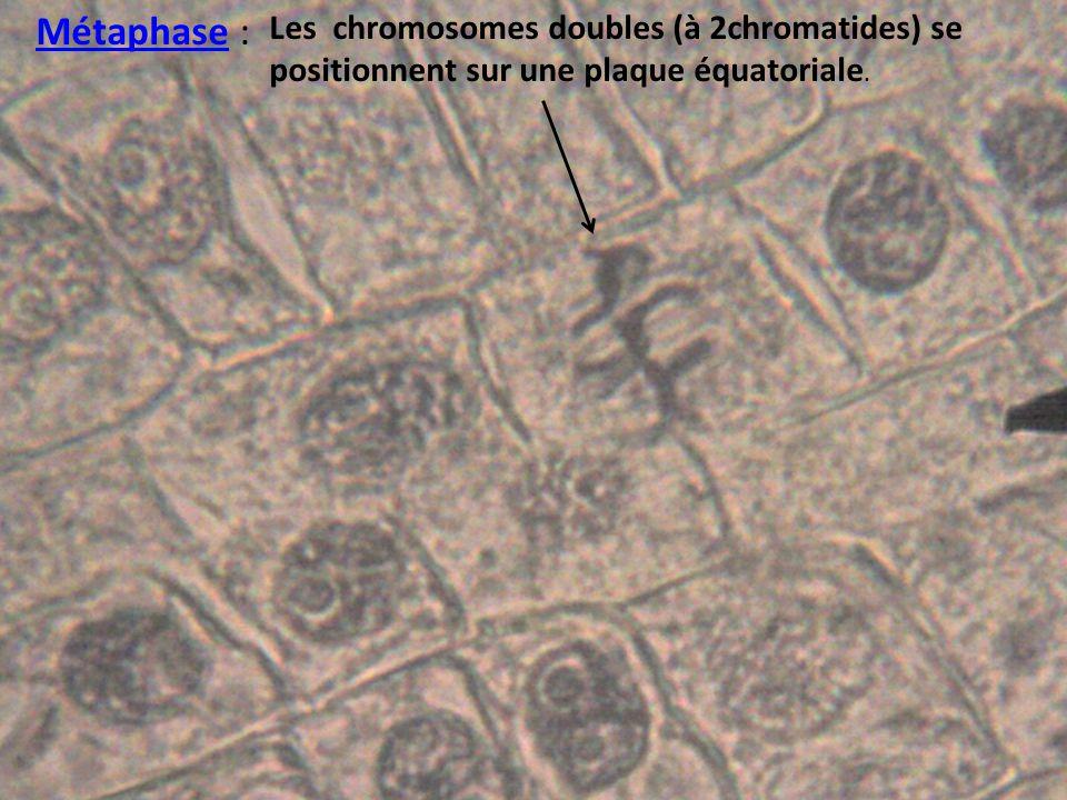 Métaphase : Les chromosomes doubles (à 2chromatides) se positionnent sur une plaque équatoriale.
