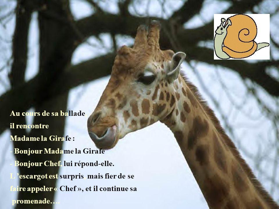 Au cours de sa ballade, il rencontre Madame la Girafe : - Bonjour Madame la Girafe - Bonjour Chef, lui répond-elle. L 'escargot est surpris, mais fier