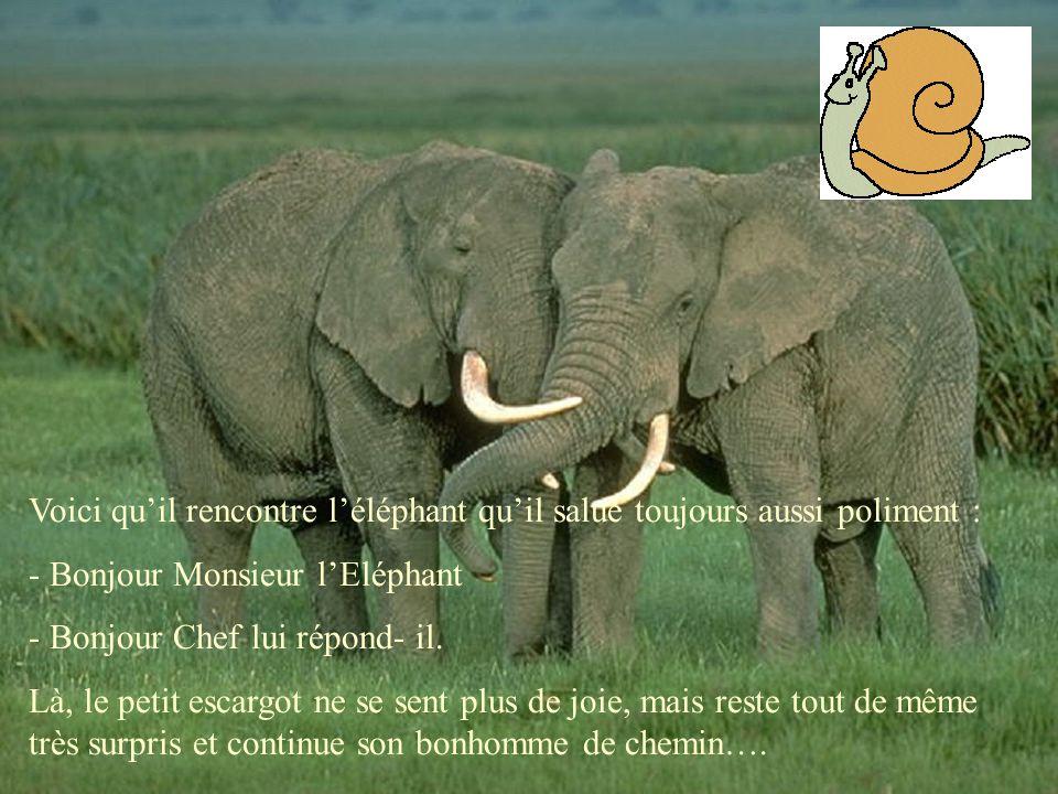 Voici qu'il rencontre l'éléphant qu'il salue toujours aussi poliment : - Bonjour Monsieur l'Eléphant - Bonjour Chef lui répond- il. Là, le petit escar