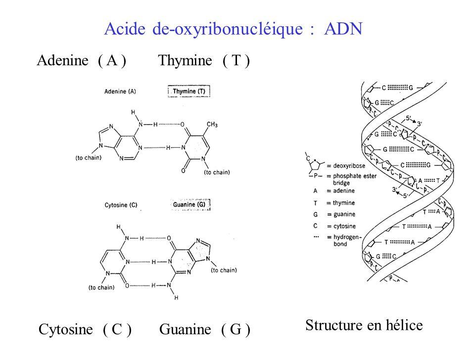 Acide de-oxyribonucléique : ADN Adenine ( A ) Thymine ( T ) Cytosine ( C ) Guanine ( G ) Structure en hélice